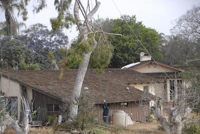 old roof style on ranch home near eucalyptus tree