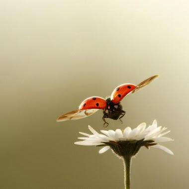 Uğur böceği ve papatya