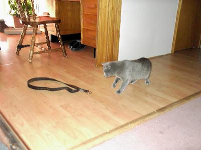 grey cat tests belt