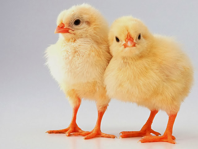 All about baby chicks