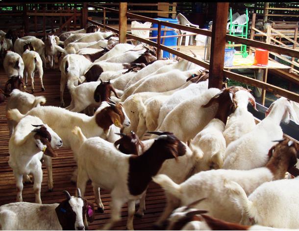 kambing untuk qurban