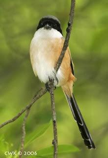 Tips merawat burung Cendet/Pentet biar Gacor dan memilih bakalan