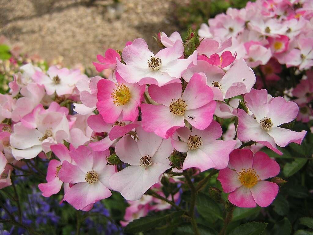 Beautiful Flower Wallpapers Hamari Choice Best Pakistani Web