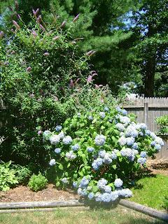 Hydrangeas and Butterfly Bush