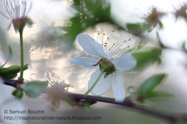 macro prunellier printemps
