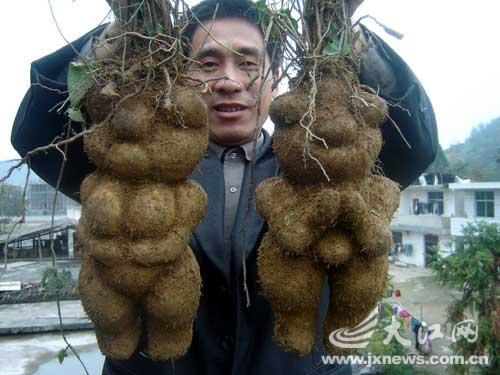 He Shou Wu Fo Ti Root