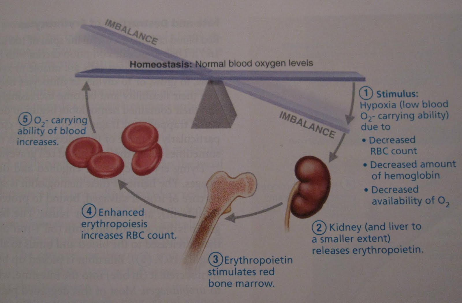 A U0026pii Eportfolio  Objective 54  How Erythropoietin Regulates Red Blood Cell Production