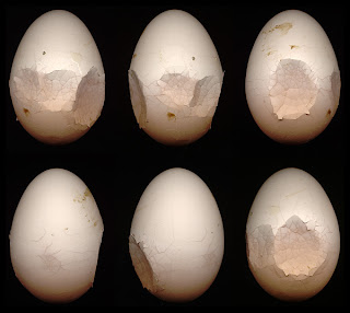 Vỏ trứng mỏng, dễ dập bể do thiếu canxi và phospho.