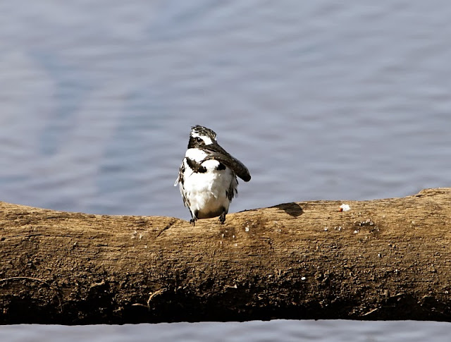 Pied Kingfisher with a fish