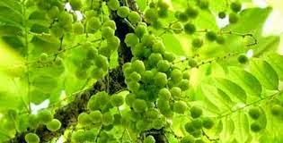 فوائد الاملج للشعر للبشرة وكيفية استخدامه Benefits+of+Triphala