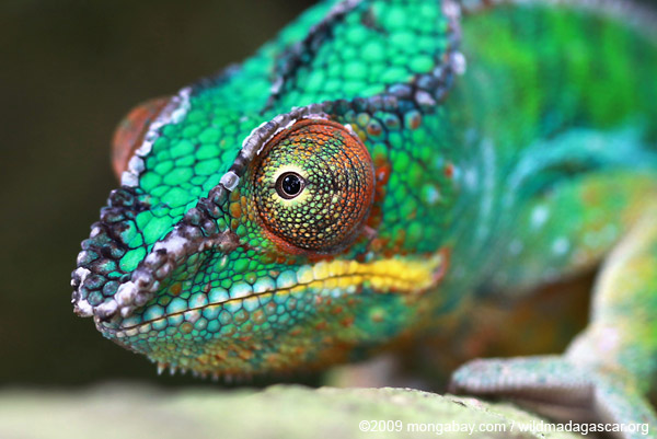 R Chameleon Amazon Tropical Rainforests o...