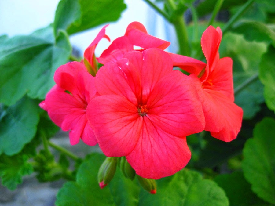 Fotografias da flor gerânio