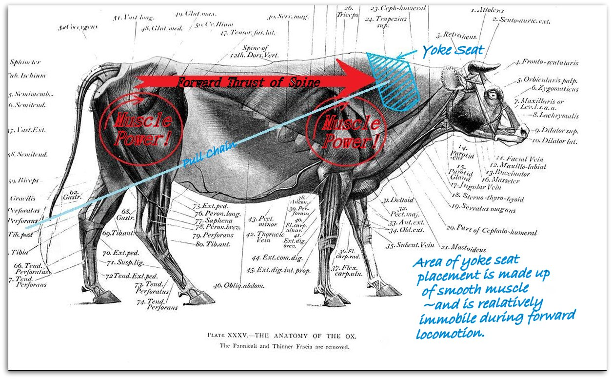 Cow muscle anatomy 3767214 - follow4more.info