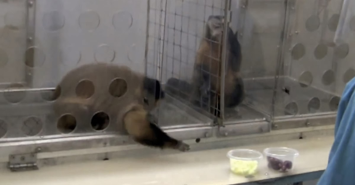 2 Monkeys Were Paid Unequally. Watch What Happened Next