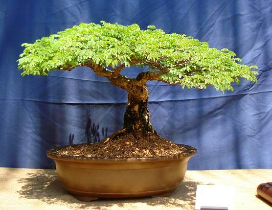 Bonsai barbero gu a de cultivo de flamboyan - Cultivo de bonsai ...