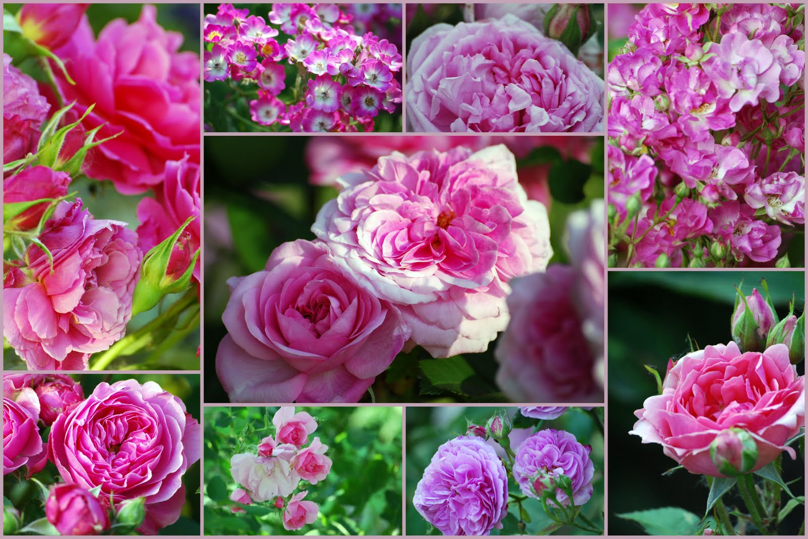 mon jardin mes merveilles mosa que rose fushia. Black Bedroom Furniture Sets. Home Design Ideas