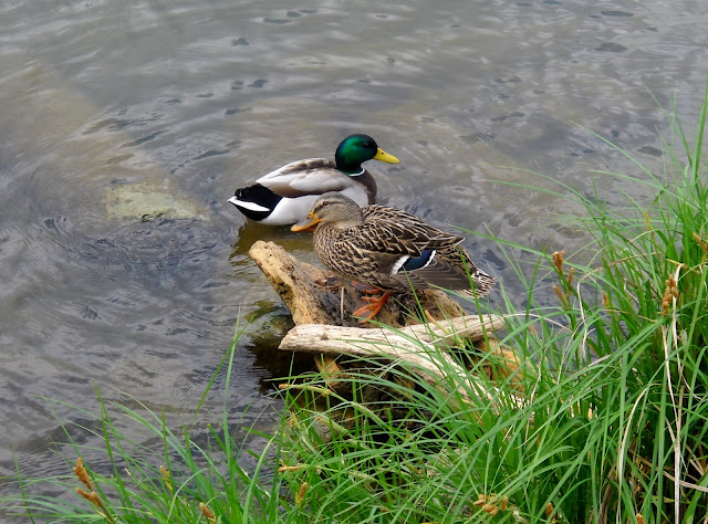 A pair of Mallard Ducks at White Rock Lake, Dallas, Texas