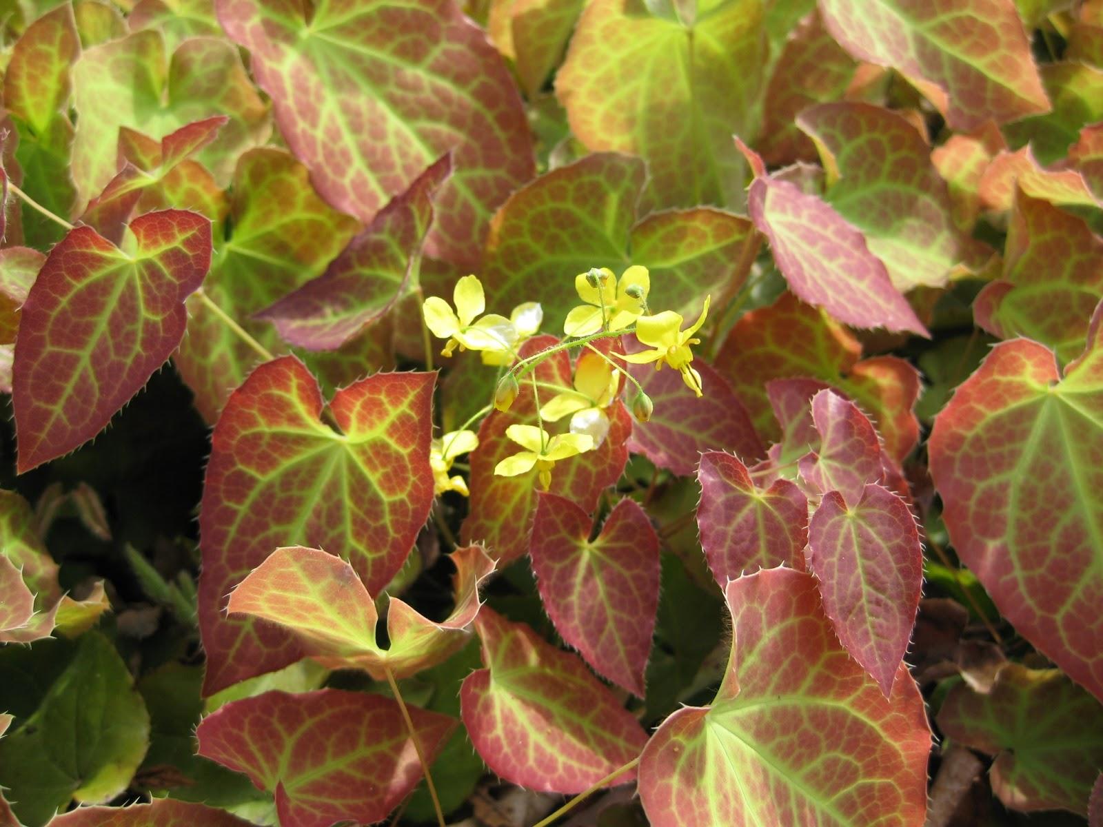 Rotary Botanical Gardens - Hort Blog: Barrenwort Foliage