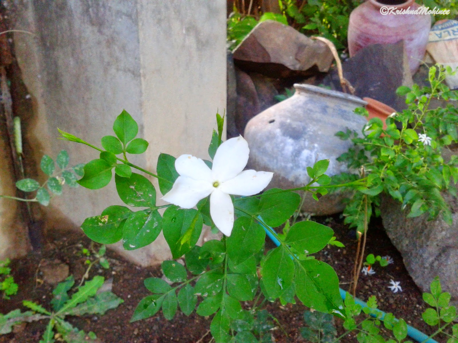 Image: Flower Chameli