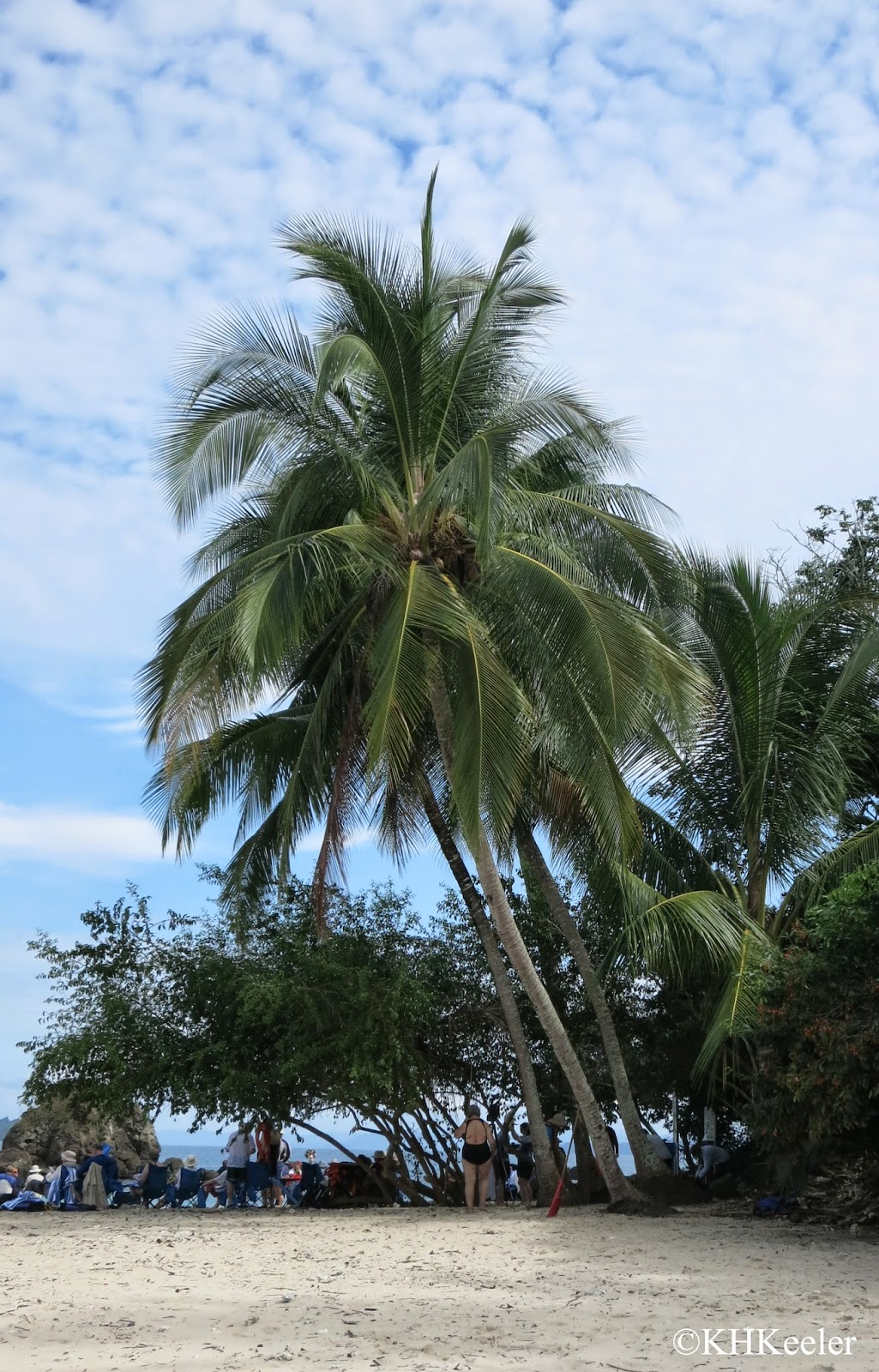 coconut palm on beach, Pacific coast, Panama