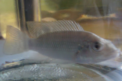 孔雀魚BB換麗麗魚