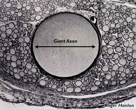 action potentials in squid axon The rising phase of the action potential, and a potassium conductance that  activates  first, the neuron to be studied, in this case a squid giant axon, is  placed.