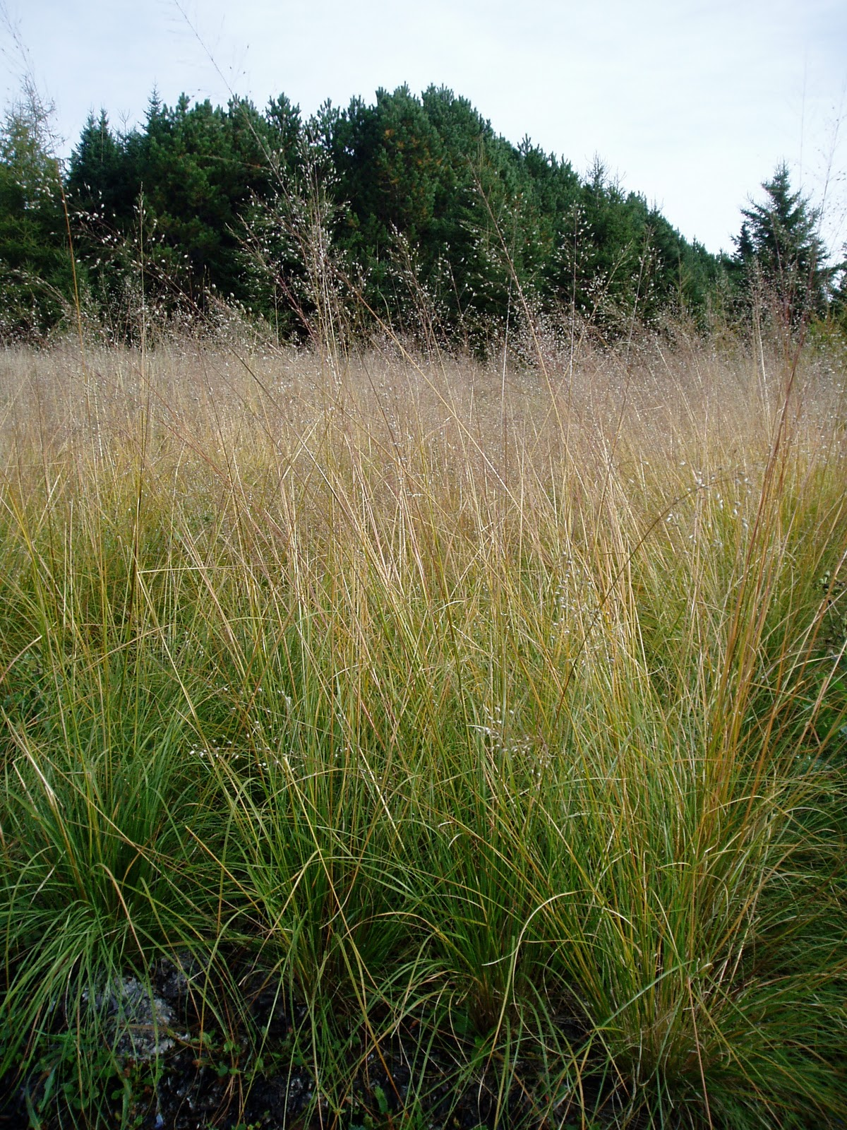 lovegrass farm  sporobolus heterolepsis  prairie dropseed