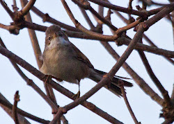 Whitethroat, January 22nd 2012