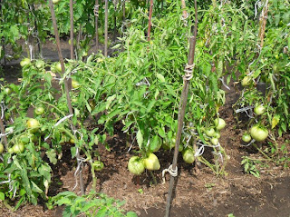 кусты помидоров сорта Севрюга
