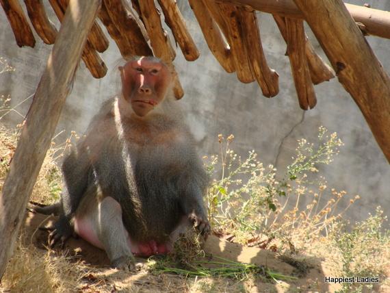 hamadryas baboon mysore zoo
