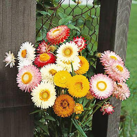 Helichrysum Double Mix