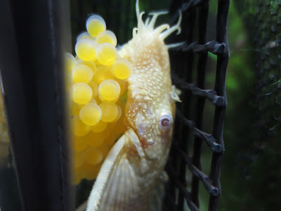 Albino Pleco with eggs
