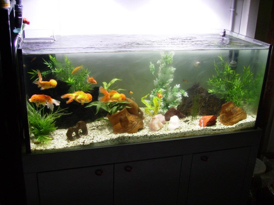 Pirana aquarium l 39 animale domestico pi diffuso al mondo for Vasca pesce rosso