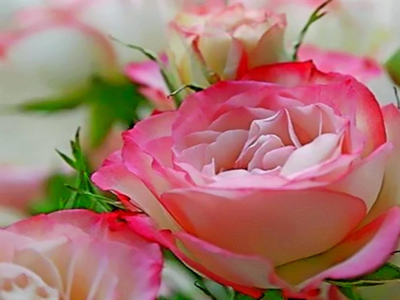 valentine show my love rose  flower wallpaper