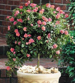 Ghetto gardens understanding rose classifications for Garden rose trees