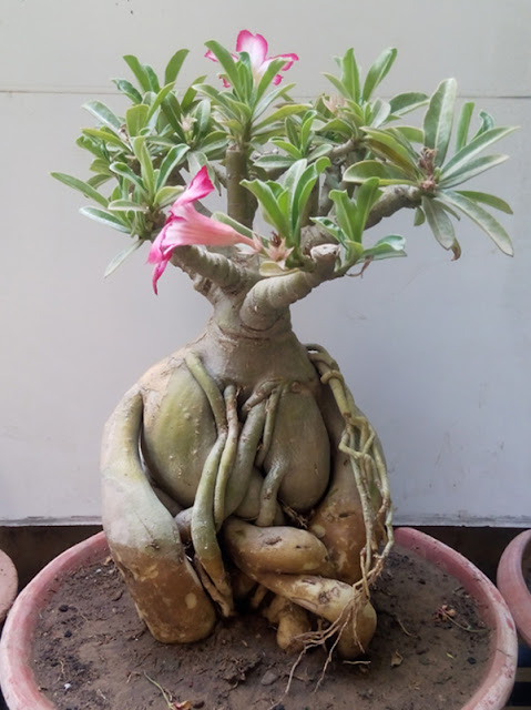 Buy Adenium Bonsai Plants