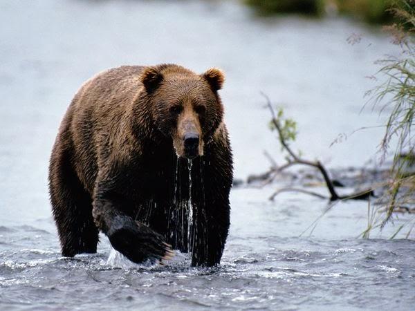 Where Do Brown Bears Live?