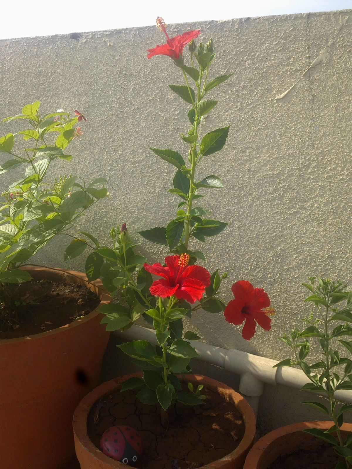 Plants growing in my potted garden june 2015 happy gardening to all izmirmasajfo Image collections
