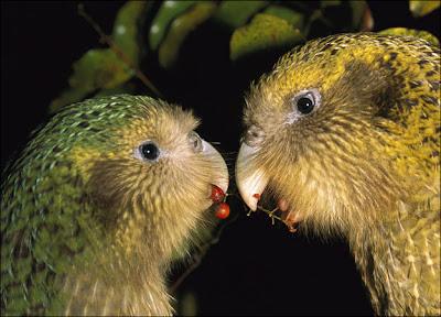 Kakapo Parrot 2