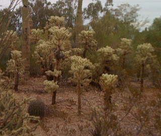 Cylindropuntia fulgida - rumour has it the Jumping Cholla attacks unsuspecting hikers who venture too near