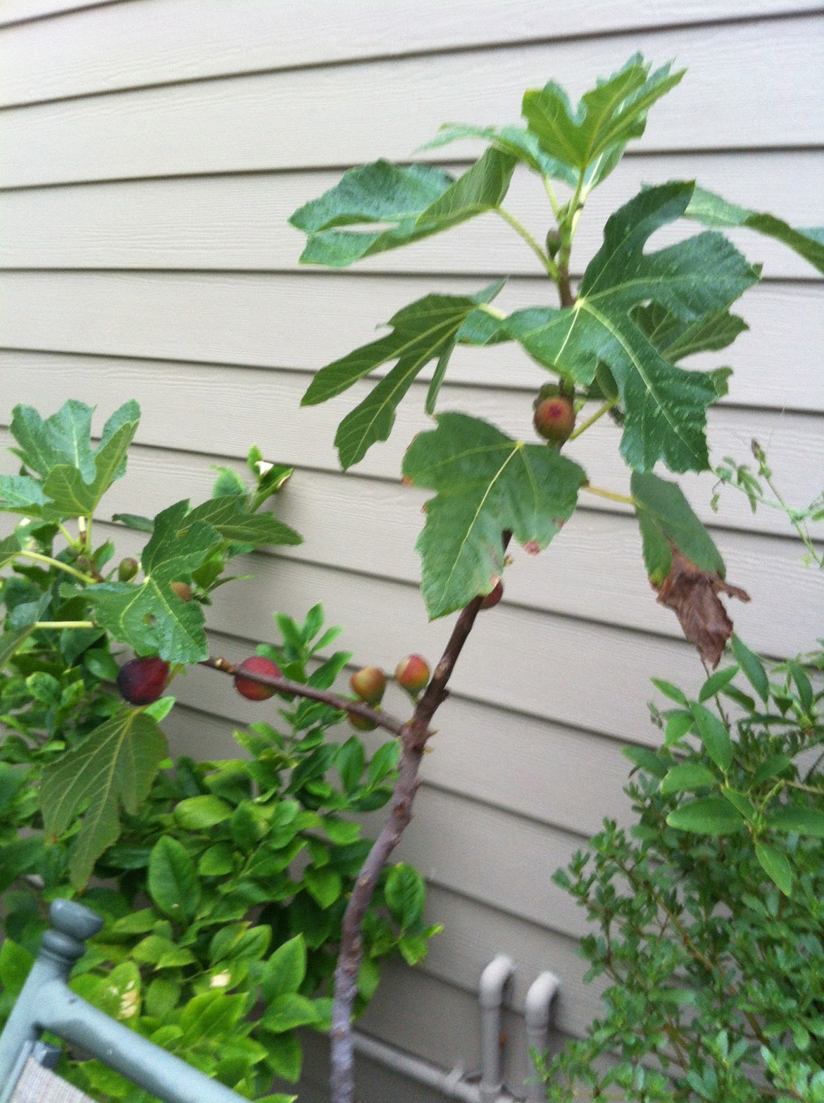 Victory Garden On The Golf Course Growing Exotic Figs