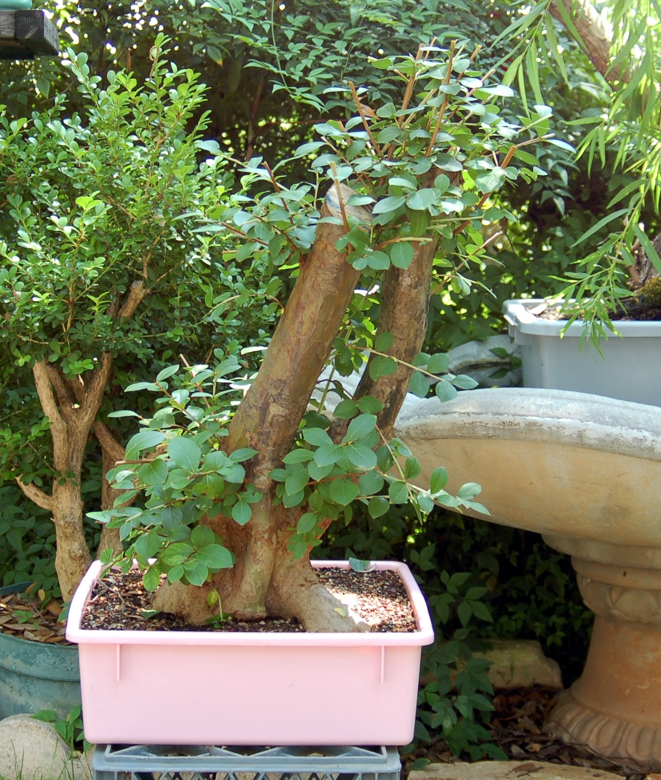 Heart Of Texas Bonsai Freegan Bonsai Crepe Myrtle