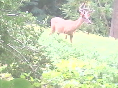 Whitetail buck in velvet in Westchester County