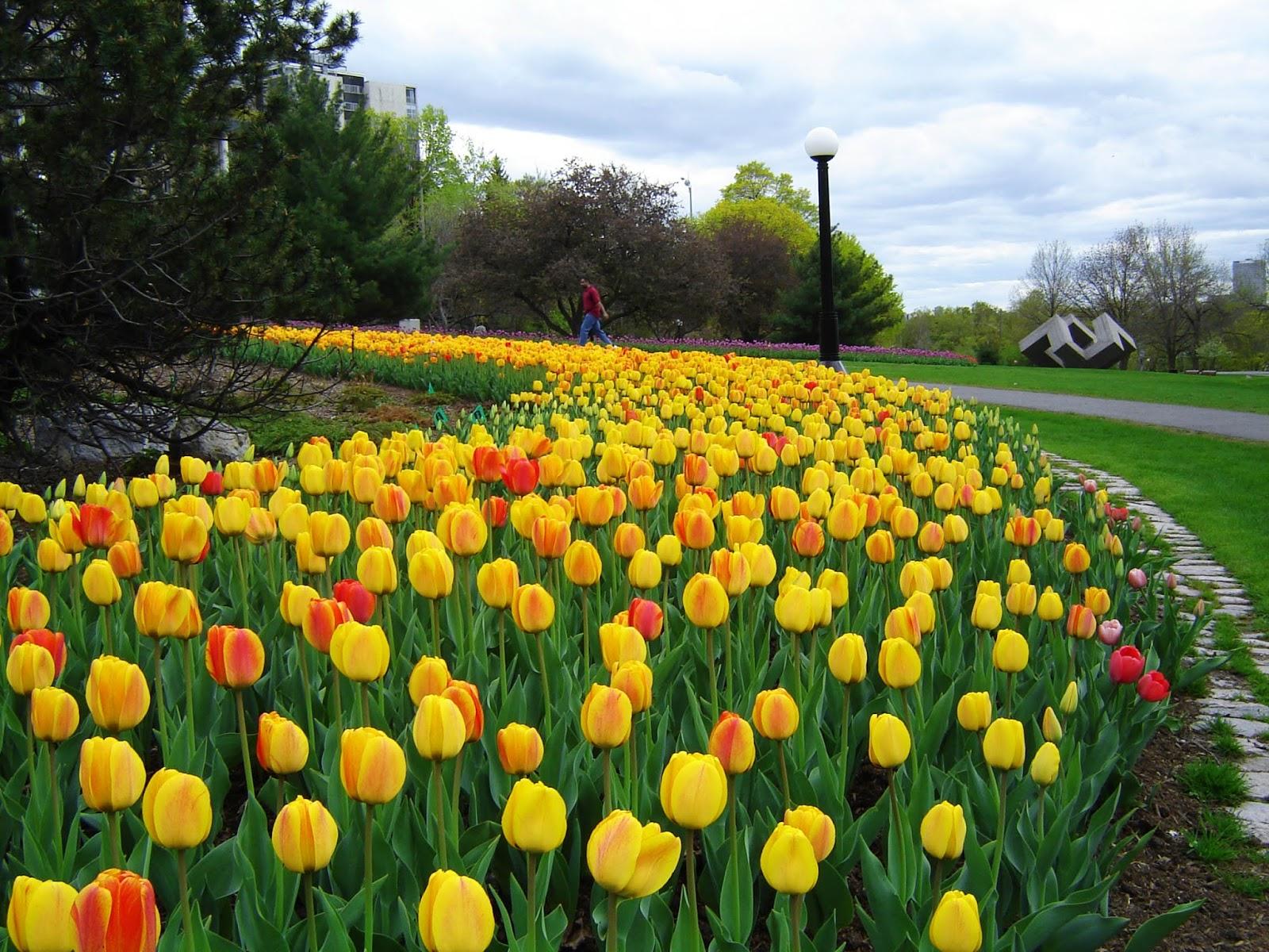 Gambar Bunga Tulip Belanda Indah Cantik Gambar Kata Kata