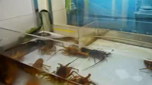 Choisir un homard avec une pince robot, jouer avec des homards