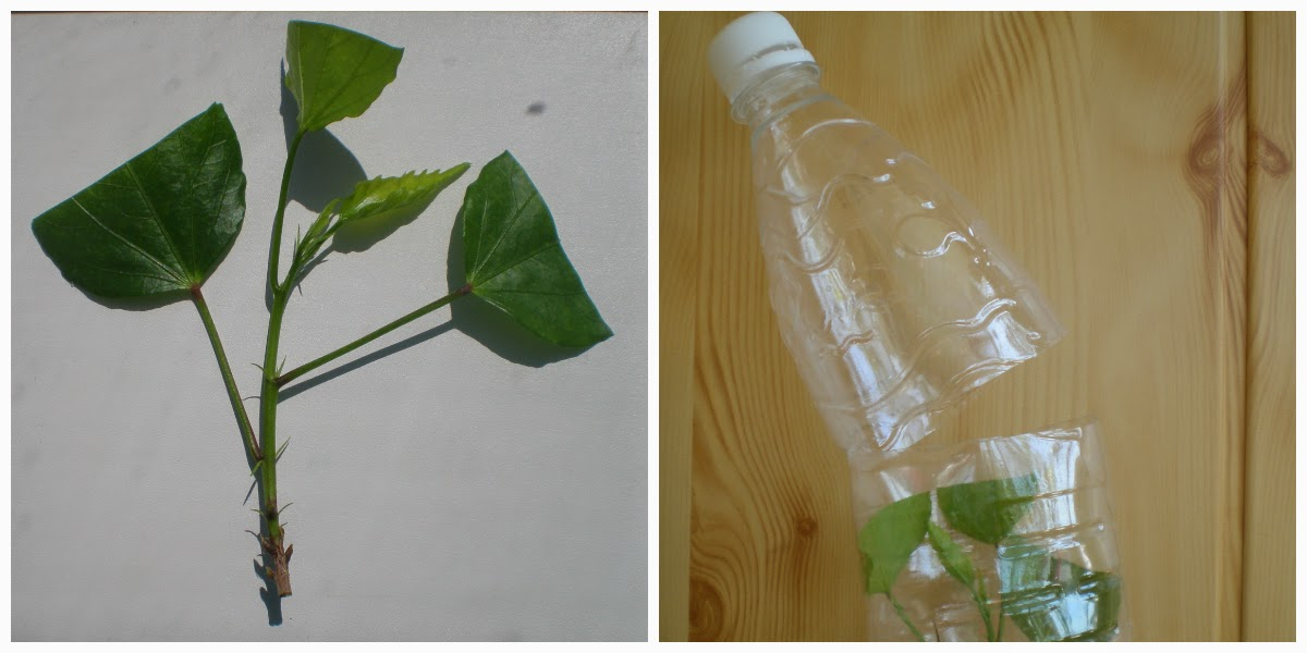 Как посадить гибискус в домашних условиях 952