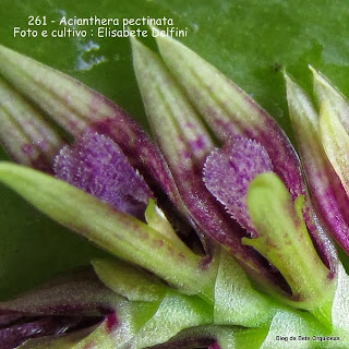 Pleurothallis pectinata, Humboldtia pectinata
