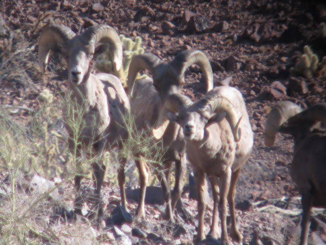 AZ+Desert+Bighorn+Sheep+Scouting+Pics+by+Colburn+and+Scott+Outfitters+4.JPG