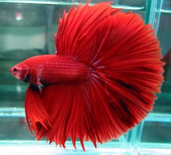 Ikan Hiasan Akuarium