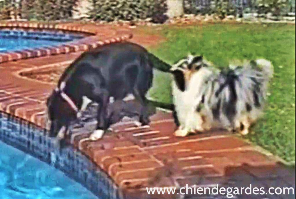 Chien aide l 39 autre pour attraper une balle tomb dans une for Piscine pour chien